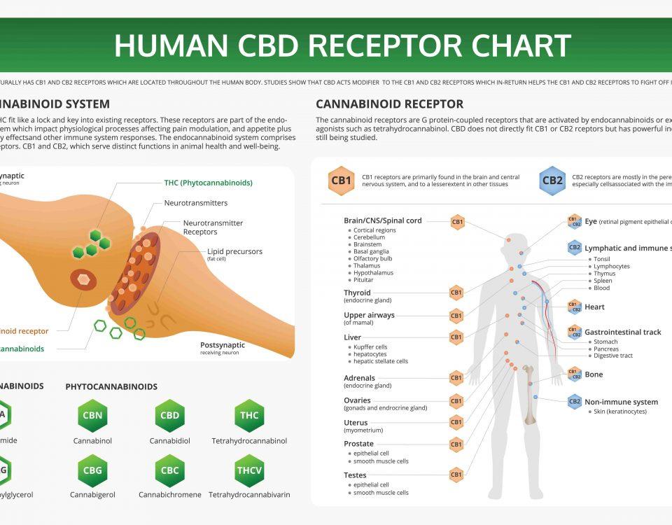 Cannabinoidrezeptoren Wirkmechanismus und Verbindung mit Cannabis cbd-natural.de